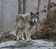 """witchedways: """" beautiful-wildlife: """" Big Wolf Is Watching You by Zedkuesde """" bewitched forest """""""