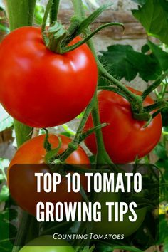 A complete guide to the Top Tomato Growing Tips from Counting Tomatoes! Growing Cherry Tomatoes, Growing Tomatoes In Containers, Growing Vegetables, Vegetable Garden For Beginners, Vegetable Gardening, Gardening Tips, Garden Pests, Garden S, How To Grow Cherries