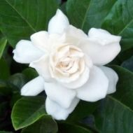 The Gardenia is very easy to grow in Southwest Florida and smells wonderful.   Crowley's in Sarasota is a great source for Florida plants for your garden.