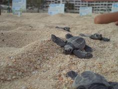 Newborn! Baby sea turtles. Tortugas Marinas recién nacidas.