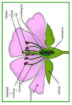 delen van een bloem - vertaald