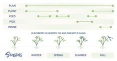 Caring for Fruit Plants: What to Do and When Berry Plants, Fruit Plants, Edible Plants, Fruit Trees, Thornless Blackberries, Pineapple Guava, Blueberry Plant, Victory Garden, Perfect Plants