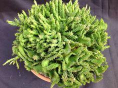 Euphorbia Flanagii Combo Normal & Cristata Crested Succulent
