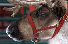 another pretty reindeer.......