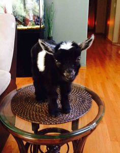 Funny pictures about Tiny baby goat. Oh, and cool pics about Tiny baby goat. Also, Tiny baby goat. Mini Goats, Cute Goats, Baby Goats, Baby Pygmy Goats, Cute Baby Animals, Farm Animals, Animals And Pets, Funny Animals, Cute Creatures