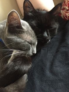 Adopted these two 1 year old guys two weeks ago. Got the black one (Max) first then decided he needed a bud so we adopted the grey one (Ash) two days later. The easiest cat intro I've ever done. They fit well together!