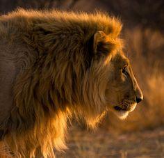 Golden LionbyChristopher Spiteri  SOURCE: 500PX.COM