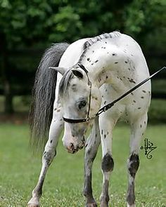 Falabella on Pinterest | Miniature Horses, Appaloosa and Ponies