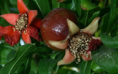 Pomegranate Blossoms, The Armenian Pride