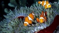 Images for Desktop: clownfish pic, Yancy Robin 2017-03-27