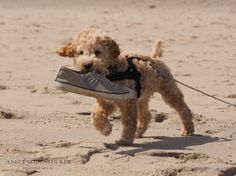 Anett Seidensticker - Photographie - Podgi & Beppa Italian Water, Stop Animal Testing, Lagotto Romagnolo, Sheltie, Border Collie, Cute Animals, Doodles, Videos, Dogs