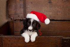 What better way to start your day? A photo of a gorgeous border collie puppy dressed up as Santa?