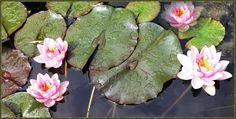 Alles was blüht, vergeht. — hier: Neverland. Lotus, Succulents, Flowers, Plants, Succulent Plants, Flora, Royal Icing Flowers, Floral, Plant