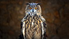 Photo eagle owl by Fred Matos on Feather Art, Bird Feathers, Owl Bird, Pet Birds, Eurasian Eagle Owl, The Big Year, Especie Animal, Owl Pet, Forever