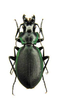 Carabus Cechenochilus kokujewi