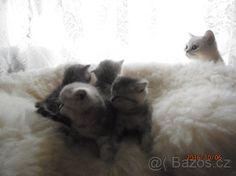 britská koťátka s PP Cats, Animals, Gatos, Animales, Animaux, Animal, Cat, Animais, Kitty