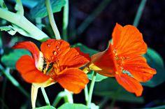 Capuchinha - flor comestível - horta - salada