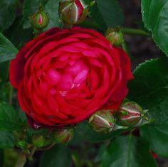 Daniel Schmitz Roses - Amadeus