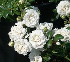 Icy White Drift® Groundcover Rose