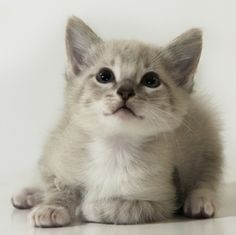 Andrew is an adoptable Ragdoll Cat in Kansas City, MO. All cats/kittens will be spay/neutered before going to their new homes, up to date on vaccinations, tested for FIV/Feline Leukemia, dewormed and ...