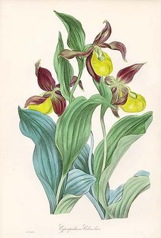 Antique print: picture of Common Ladies Slipper Orchid - Cypripedium calceolus - UK
