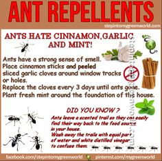 As the weather gets warmer, it brings little bugs with it. These are our favorite ant repellents. Antshate cinnamon, garlic and mint!They have a strong sense of smell. Place cinnamon sticksand peeled and sliced garlic cloves around window tracks or holes in the house. Replace the cloves every 3 days …