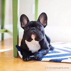 """I can use my 'Begging Eyes' all Day, so go ahead and give me the food now, and I'll leave you alone"".... ""until I want some more"", Clever French Bulldog"