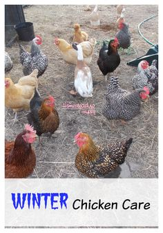 How to care for your flock in the winter~The HomesteadingHippy #homesteadhippy #fromthefarm #theurbanchicken