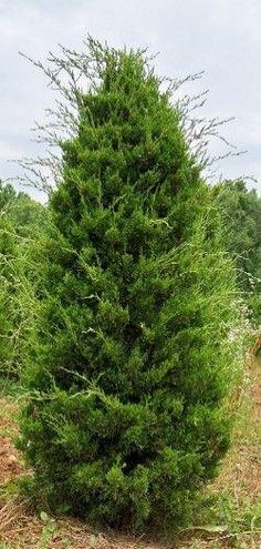 canaerti juniper Types Of Plants, Country Roads, Trees, Flowers, Tree Structure, Royal Icing Flowers, Wood, Flower, Florals