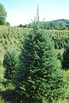 Fraser Fir at Severts Elk Creek, VA