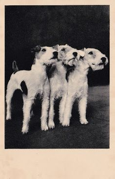 A trio of Wire Fox Terriers feature on this undated vintage postcard.