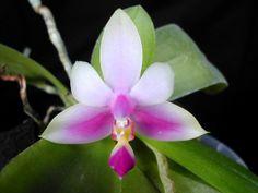 Moth-Orchid: Phalaenopsis violacea