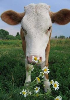 Calf sniffing flowers