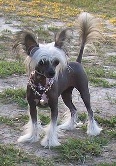 Bare Love Chinese Crested Sphynx