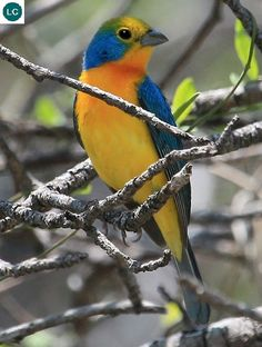 https://www.facebook.com/WonderBirdSpecies/ Orange-breasted bunting (Passerina leclancherii); Endemic to Mexico; IUCN Red List of Threatened Species 3.1 : Least Concern (LC)(Loài ít quan tâm) || Sẻ đất ngực cam; Loài đặc hữu Mexico; HỌ HỒNG TƯỚC - CARDINALIDAE (Cardinals).