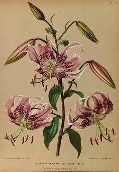 165381 Lilium speciosum Thunb. var. rubrum / Eeden, A.C. van, Album van Eeden, Haarlem's flora, afbeeldingen in kleurendruk van verschillende bol- en knolgewassen, p. 10, t. 15 (1872-1881)