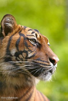Siberian Tiger Photo by Patrick Bakkum on Flickr