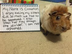 Guinea Pig Shaming. This is our guinea pig Cinnamon :).