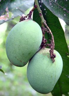 How to Grow Mango Trees Indoors | Garden Guides