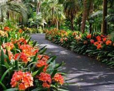Clivia miniata lined pathways at Sydney Botanic gardens