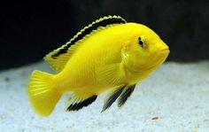 Pyszczak Yellow • Pyszczak Żółty - pyszczaki żółte, opis