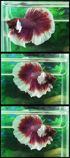 Some interesting betta fish facts. Betta fish are small fresh water fish that are part of the Osphronemidae family. Betta fish come in about 65 species too! Pretty Fish, Beautiful Fish, Colorful Fish, Tropical Fish, Beautiful Creatures, Animals Beautiful, Betta Fish Care, Beta Fish, Siamese Fighting Fish