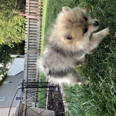 Beau - male Pomeranian doggie for sale at Fishers, Indiana Pomeranian Puppy For Sale, Cute Pomeranian, Beagle Puppy, Puppies Near Me, Puppies For Sale, Bull Terrier Dog, Hound Dog, Cheap Puppies, Small Dogs For Sale