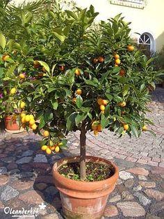 Kumquat, Fortunella margarita