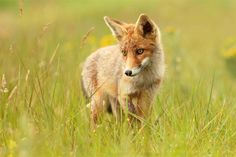 Young Fox in Meadow