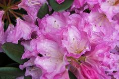 Thank you for taking a look at one of our several hundred Hybrid Rhododendrons we have for sale on Etsy and our website! At RhododendronsDirect.com, all we do is Rhododendrons.    Product Description     Bloom Color:  Purple and White    Bloom Season:   Mid-Season    Plant Height(potential in 10 years): Five Feet    Hardy to: 0      Container Size/Age:  One Gallon Containers - These rhododendrons come in various plant sizes and will be rooted into a one gallon container. These range from…
