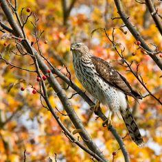 Cooper's Hawk (Accipiter cooperii) immature, MI, USA photograph by Dawn Huczek   Flickr