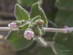 Desert Four-o'clock or Desert Wishbone - Mirabilis laevis (also called Wishbone Bush, Mirabilis bigelovii), Four-O'Clock Family (Nyctaginaceae), Arizona Wildflowers, Karen Martin Photography, http://www.facebook.com/karenmartinphoto, http://karenmartin.smugmug.com
