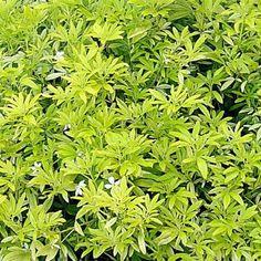 Choisya Goldfinger - Oranger du Mexique - Petit arbuste persistant au feuillage doré.