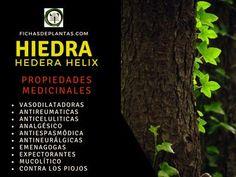 Hedera Helix, About Plants, Climber Plants, Medicinal Plants, Ivy